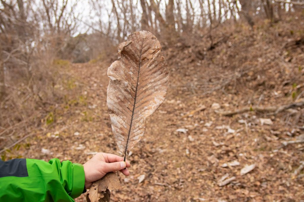 A large leaf called Hou.