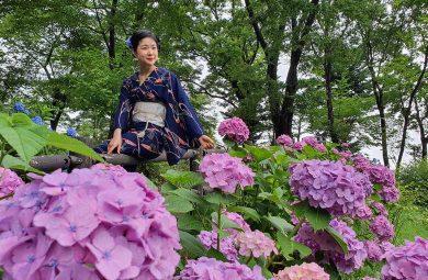 Ajisai in Japan