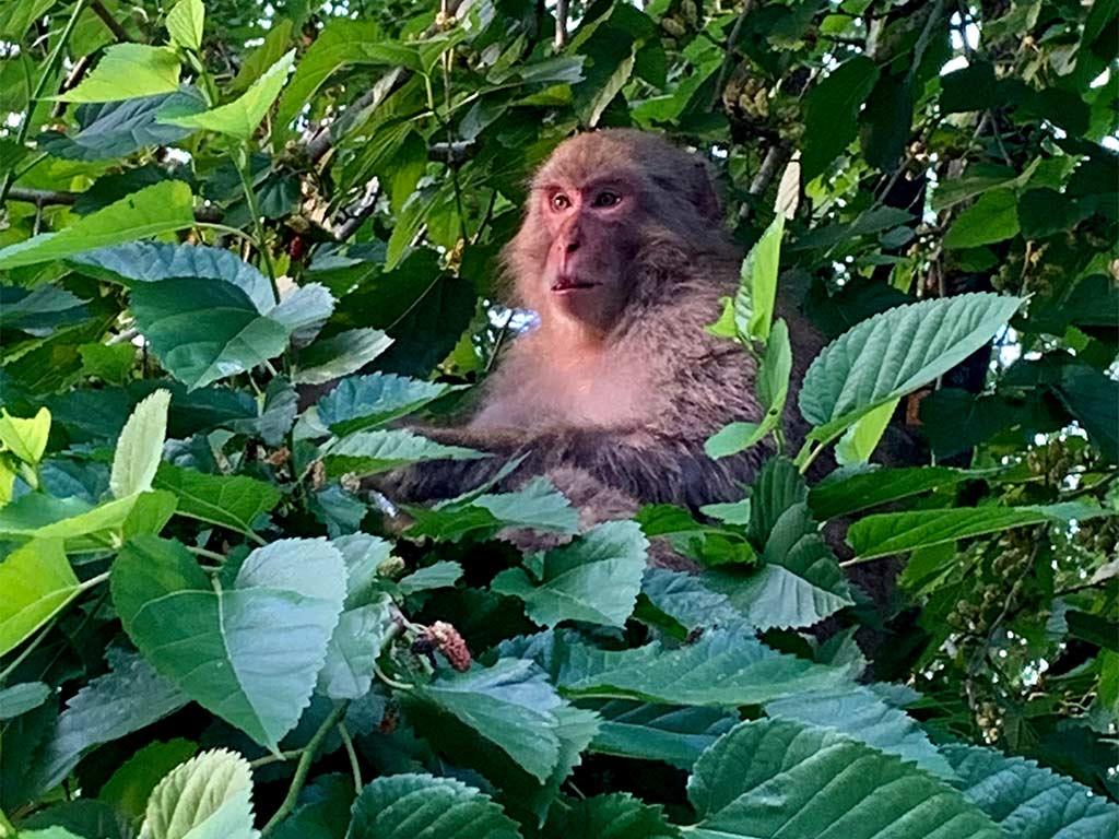 Akigawa Valley monkey
