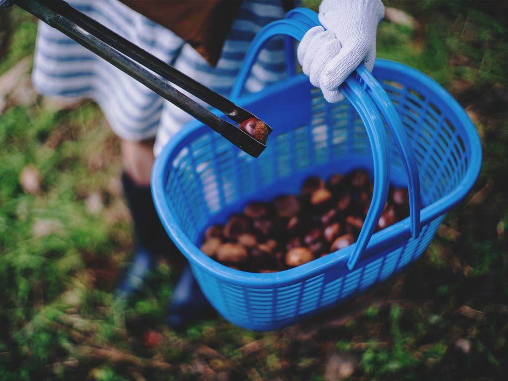 Travel to Miyazaki, Chestnuts